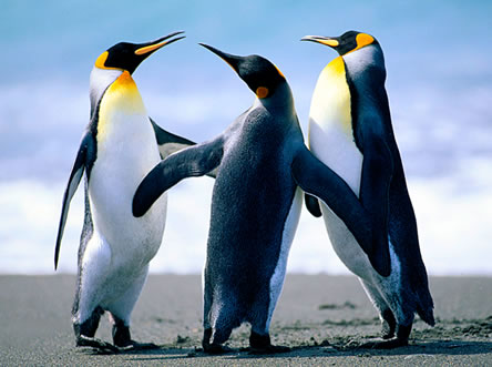 Penguins In Word
